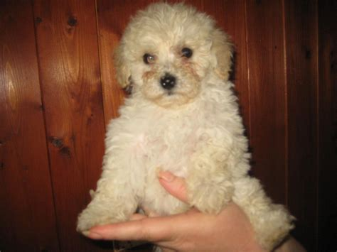 miniature bichon frise puppies for sale bichon frise x miniature poodle puppies turriff aberdeenshire pets4homes