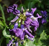 Image result for Clematis China Purple. Size: 172 x 160. Source: botanicallyinclined.org