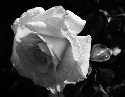imagenes en blanco y negro de flores rosa en blanco y negro www facebook com