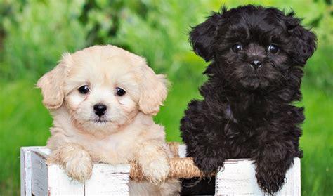 pekingese poodle lifespan pekeapoo breed information