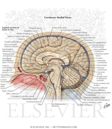 medial section of brain medial surface of the brain brodmann areas