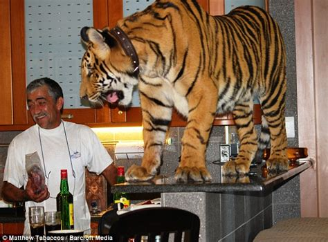 meet panjo the 23st bengal tiger who has the run of the