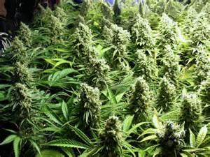 cannabis grow bible gardening tools
