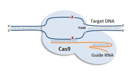 Next Big Future Crispr Gene Edits Human Stem Cells