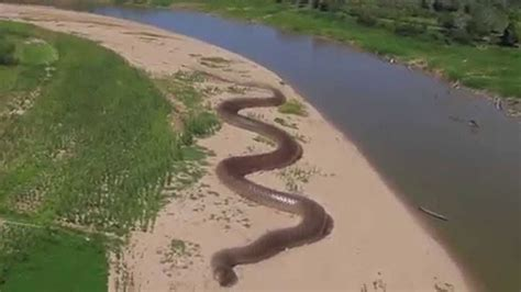 amazon river giant anaconda found in amazon river world s largest