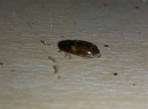 tiny black bugs   kitchen thriftyfun