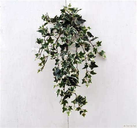 edera coltivazione in vaso 12 piante perfette per la da letto fito