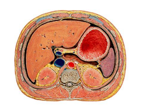Cross Section Of Stomach by Print Abdomen Flashcards Easy Notecards
