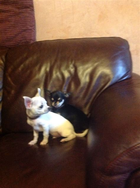 pug cross chihuahua puppies for sale australia black and chihuahua puppies quotes