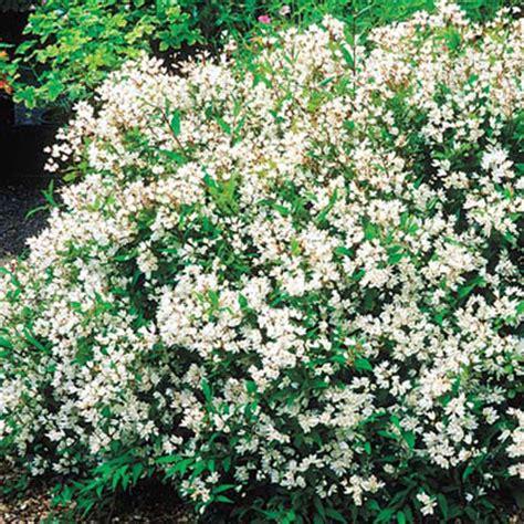 best plants for curb appeal deciduous flowering shrubs slender deutzia best