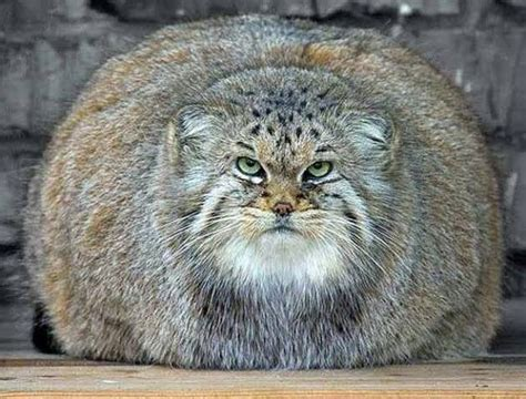 biggest house cat in the world 1000 images about largest domestic cats on pinterest cats maine coon and domestic cat