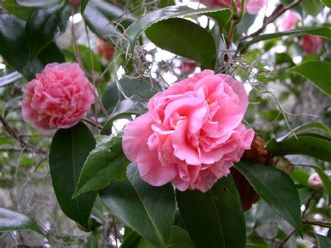 beautiful camellia varieties hgtv