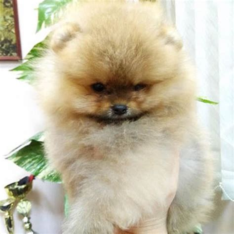 pomeranian puppies for sale price best 25 pomeranian puppies for sale ideas on pomeranian for sale tiny