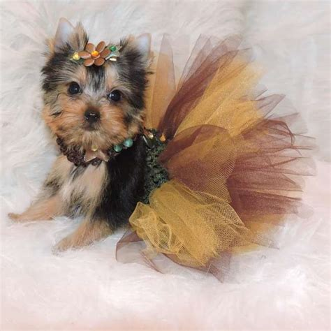 miniature yorkie teacup yorkies for sale yorkie puppies sale elvis terrier breeds picture