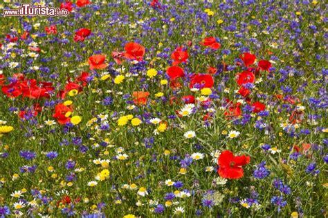 fiori colorati immagini fiori colorati a piano grande di castelluccio foto