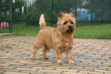 brindle cairn haircut cairn terrier hunde