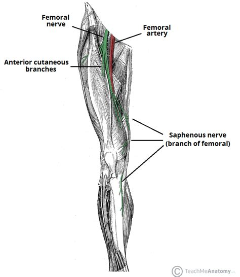diagram of femoral artery the femoral nerve course motor sensory teachmeanatomy