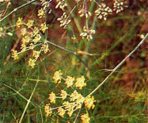 Tanaman Obat Jahe Kebo tanaman obat obat tradisional