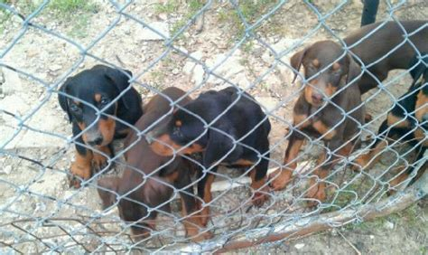 free puppies in tn doberman pinscher puppies for sale adoption from tennessee shelby adpost