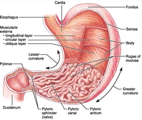 diagram of stomach and intestines ch23 stomach anatomy