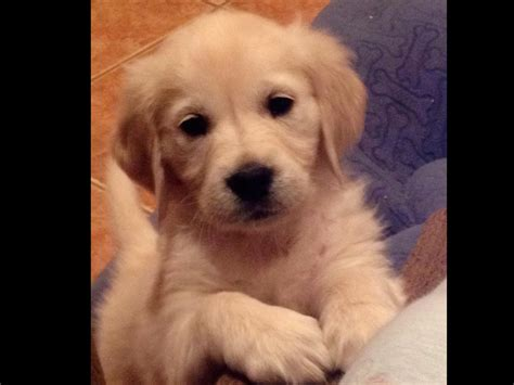 new mexico golden retriever rescue golden retriever puppies albuquerque nm land of enchantment creme golden