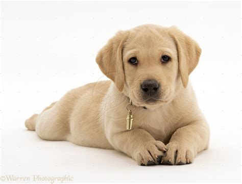 golden retriever and lab puppies golden labrador retriever puppy yellow hd pics litle pups