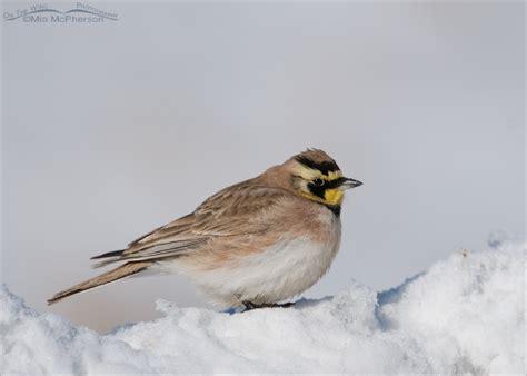 image gallery horned lark snow