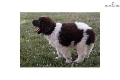 newfoundland puppies for sale in nc akc newfoundland puppies is a black newfoundland puppy for sale breeds