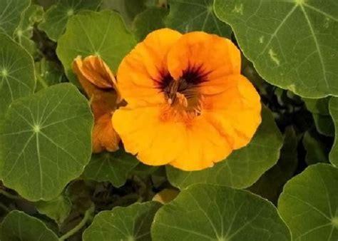 sette fiori di senape nasturzio cos 232 e come si coltiva questa pianta
