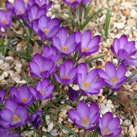 fiori crocus buy crocus bulbs crocus ruby delivery by crocus