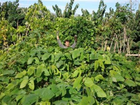 imagenes abonos verdes abonos verdes foro de semillas 15679 agroterra
