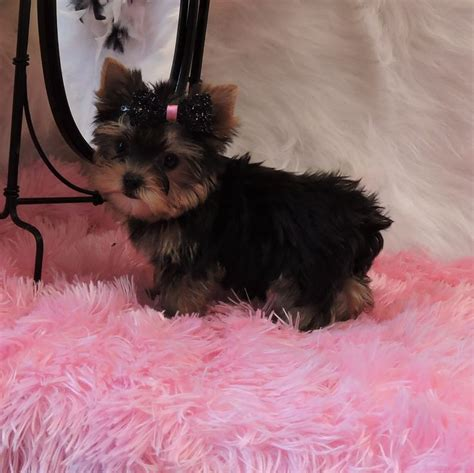 raising a teacup yorkie best 25 yorkie puppies for adoption ideas on