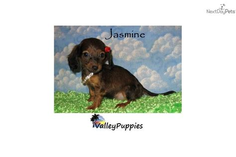 mini dachshund puppies for sale classified ad pin dachshunds for sale ads free classifieds on