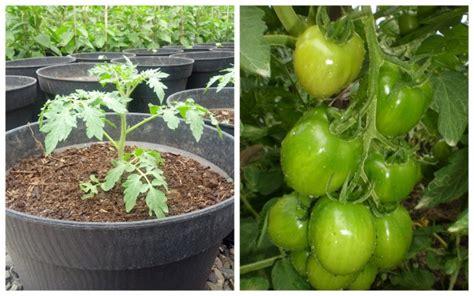 Harga Tanaman Yang Ditanam Dari Biji by Cara Menanam Tomat Dalam Polybag Alam Tani