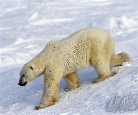 what color is polar skin what color is a polar bears hair what color is a polar