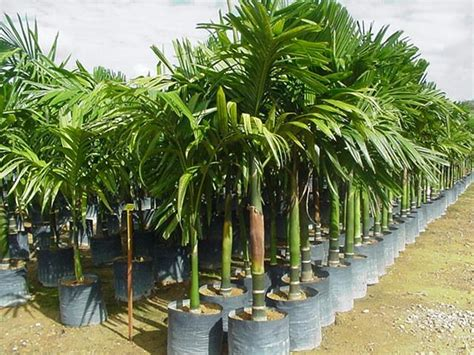 palme da terrazzo rośliny doniczkowe str 1