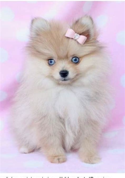 pomeranian potty 37 best images about the pups on chihuahuas barking and teacup pomeranian