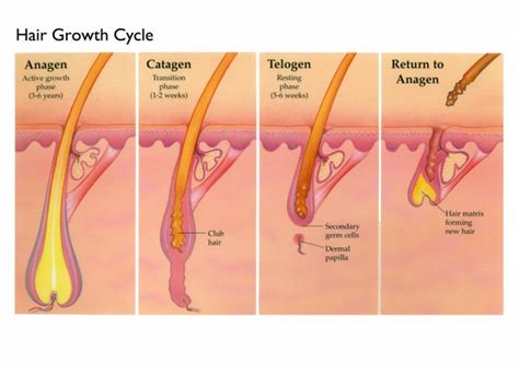 grow more pubic hair how fast hair grows and other hairy science