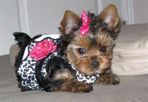 can a yorkie be a service yorkie dogs picture