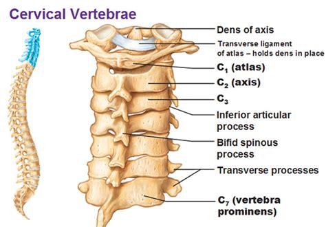 cervical vertebrae diagram the vertebral foramen