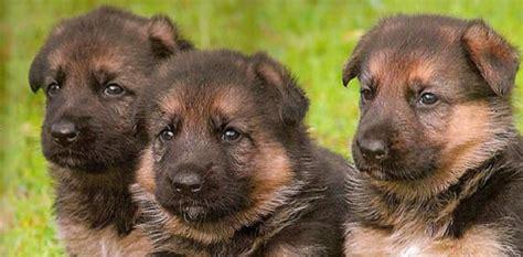 german shepherd puppy facts german shepherd puppies german shepherd puppy breeders german shepherd puppies for