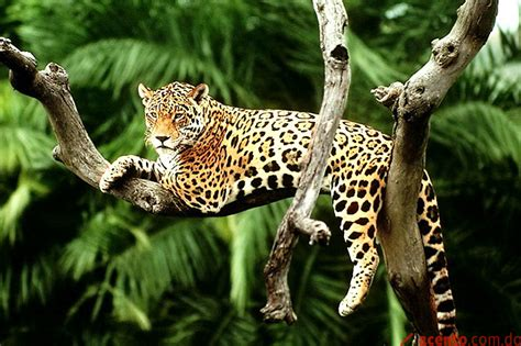 imagenes jaguarete el pantanal brasile 241 o encabeza ca 241 a para salvar al gran