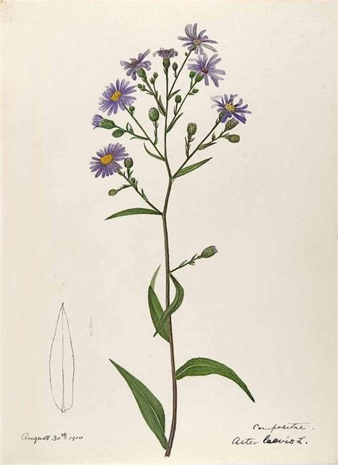 watercolor tattoo new england aster laevis l especially new by helen sharp