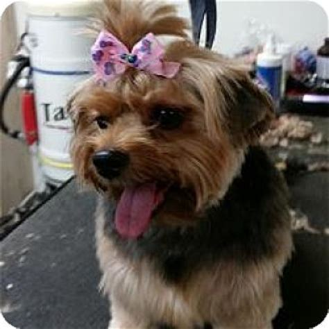 united yorkie rescue florida jacksonville fl yorkie terrier mix meet carlee a for adoption