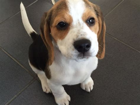 12 week puppy beautiful pedigree beagle puppy 12 weeks portsmouth hshire pets4homes