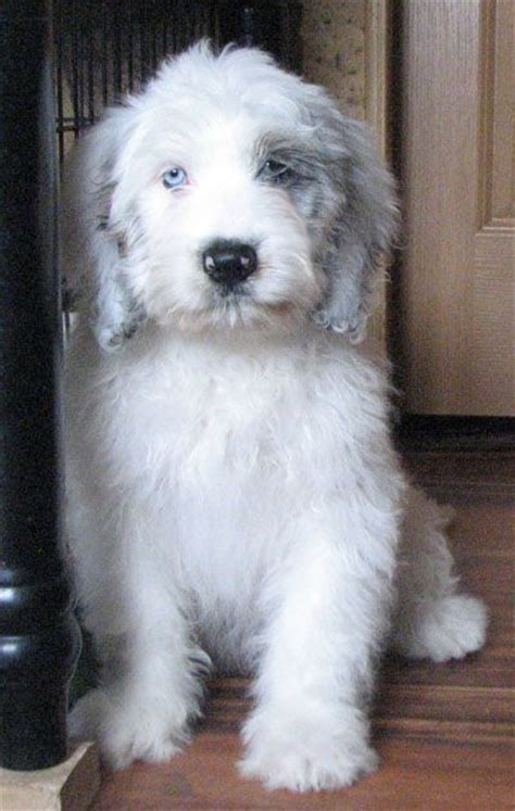 st berdoodle puppies st berdoodle puppies for sale breeds picture