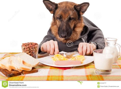 dog only eats from hand funny german shepherd dog with human arms and hands eating scra stock image image 61242777