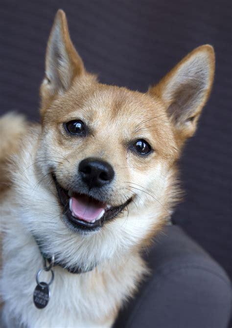 shiba inu mix puppies shiba inu corgi mix puppies for sale goldenacresdogs
