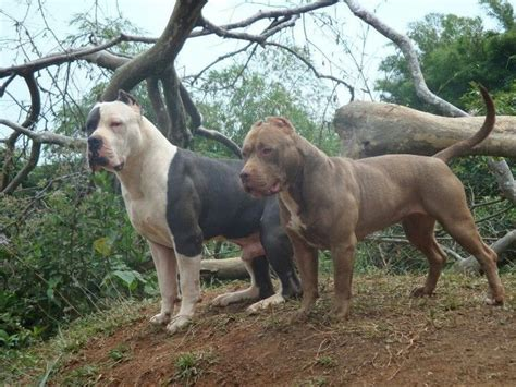 dogs xl 17 best ideas about american bullies on american pitbull puppies blue