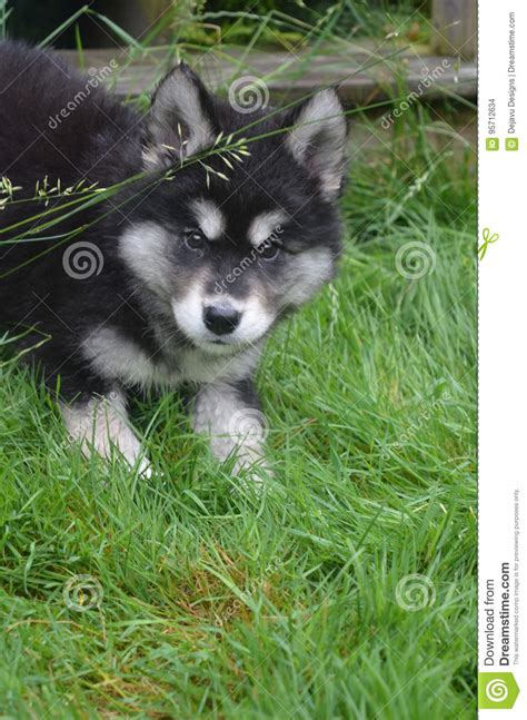 alusky puppies crouching alusky puppy ready to pounce while stock photo image 95712634